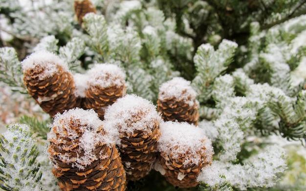 Ramo pitoresco de abeto com cones cobertos de neve branca