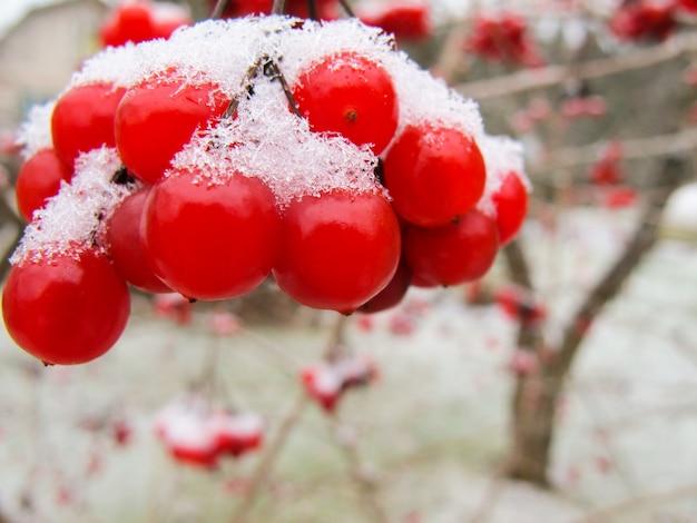 Ramo pitoresco de bagas vermelhas de viburnum com neve branca no jardim