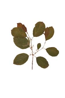 Ramo seco de herbário de frangula isolado no fundo branco