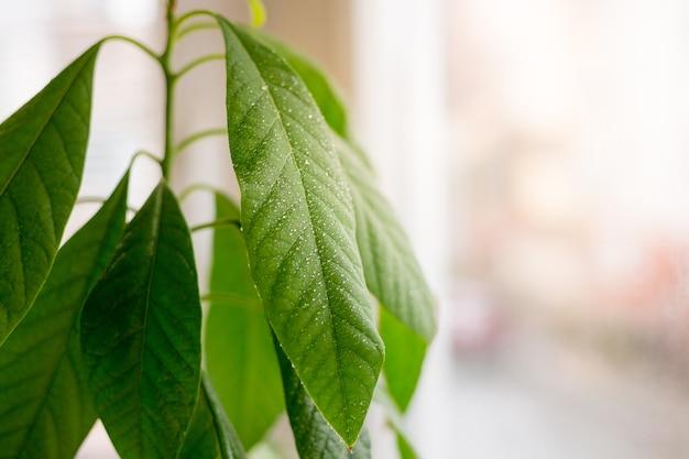 Ramo verde da árvore de abacate. cultive abacate a partir de sementes. árvore pequena em casa. fundo brilhante de folha verde espalhada com gotas frescas. conceito de jardinagem doméstica.