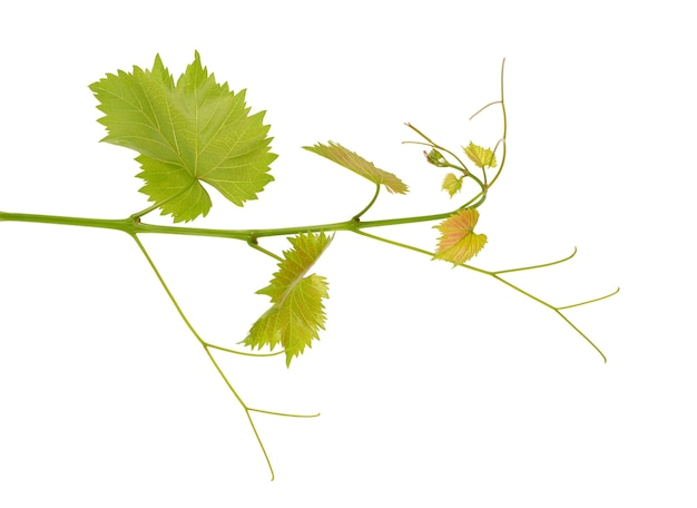 Ramo verde de fundo branco isolado de videira. primavera com folhas de videira.