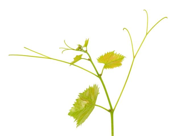 Ramo verde de videira isolado branco