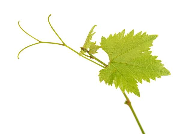 Ramo verde de videira isolado