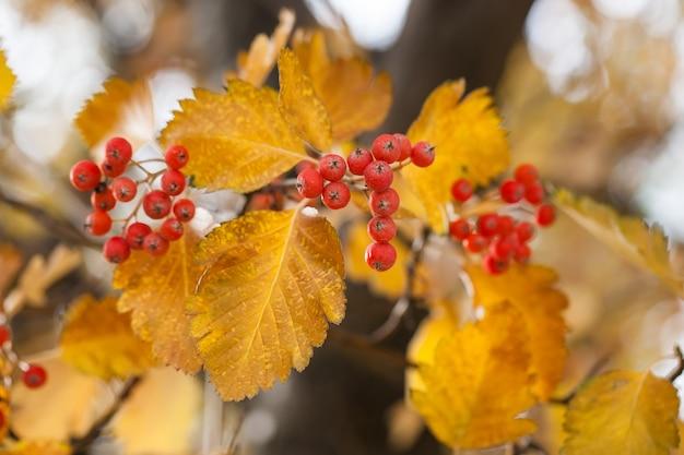 Ramo vermelho viburnum no jardim. viburnum viburnum opulus bagas e folhas ao ar livre no outono caem. bando de bagas vermelhas viburnum em um galho.