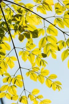Ramos com folhas de outono amarelas