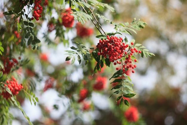 Ramos da árvore de freixo da montanha com bagas vermelhas. foto de alta qualidade