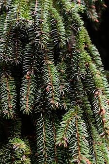 Ramos da textura da árvore do abeto