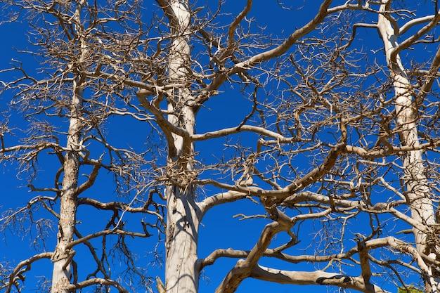 Ramos da velha árvore morta no fundo do céu azul