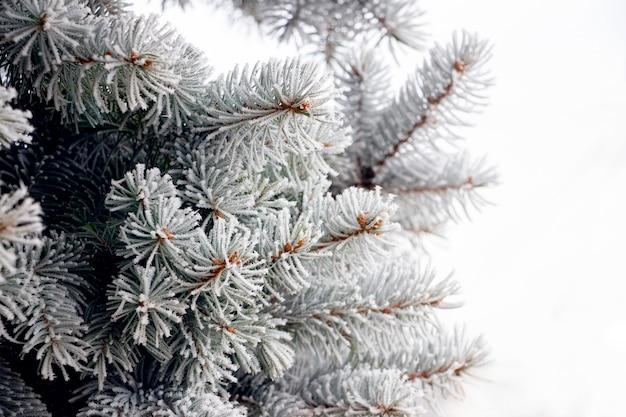 Ramos de abeto cobertos de geada. inverno, fundo de natal