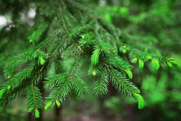 Ramos de abeto como textura de fundo cenário de ano novo a fonte ramos verdes de abeto