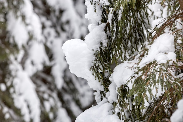 Ramos de abeto vermelho com agulhas verdes cobertas com neve limpa fresca profunda no fundo desfocado ao ar livre.