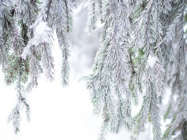 Ramos de abetos ou pinheiros exuberantes na floresta estão cobertos de neve e geada, um verdadeiro inverno gelado, fragmentos da floresta de perto