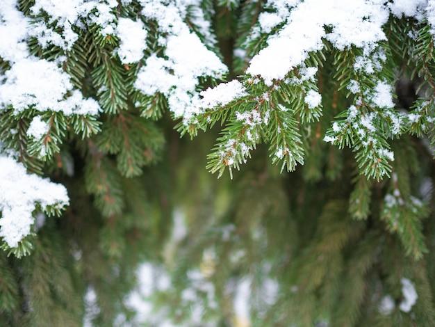 Ramos de abetos ou pinheiros exuberantes na floresta estão cobertos de neve e geada