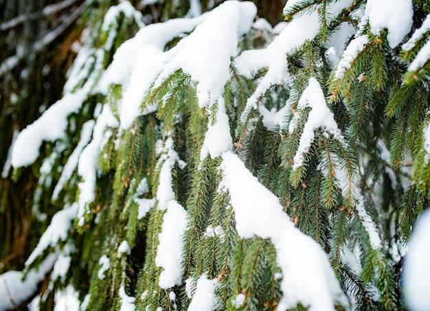Ramos de abetos verdes congelados com neve de um belo abeto grande crescendo na floresta