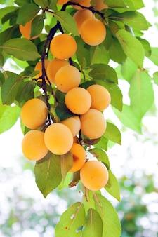 Ramos de ameixa cereja densamente pendurados com suculentos frutos amarelos maduros. dia da colheita de verão de jardinagem.