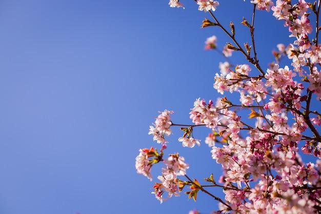 Ramos de ameixas de flor contra o céu azul. galhos de cerejeira, flores desabrochando