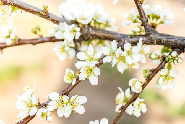 Ramos de árvore florescendo de primavera. cerejeira com flores brancas. fundo desfocado
