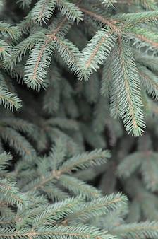 Ramos de azul ou espinhoso picea pungens close-up ao ar livre