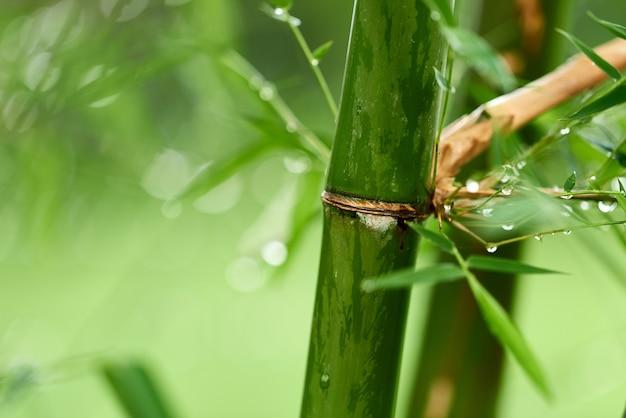 Ramos de bambu da natureza com gotas da chuva.