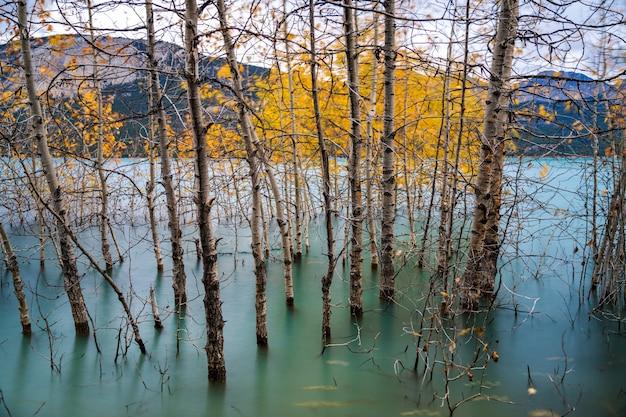 Ramos de bétula secos e folhagem dourada caída na superfície da água verde-esmeralda