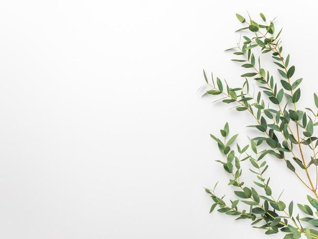 Ramos de eucalipto em um fundo branco