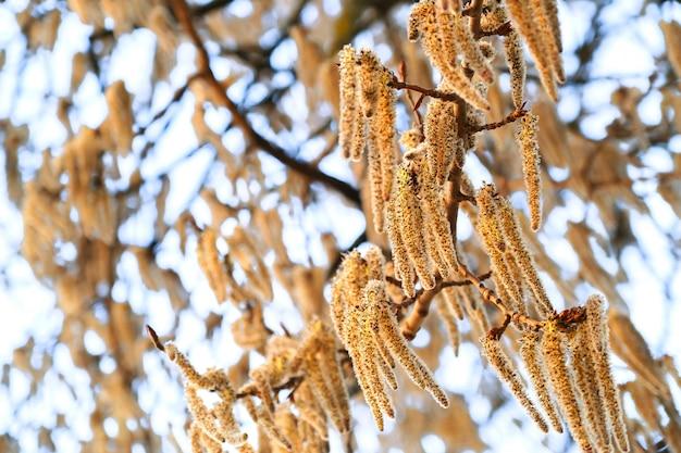 Ramos de floração da árvore de álamo tremedor com brincos no início da primavera, paisagem