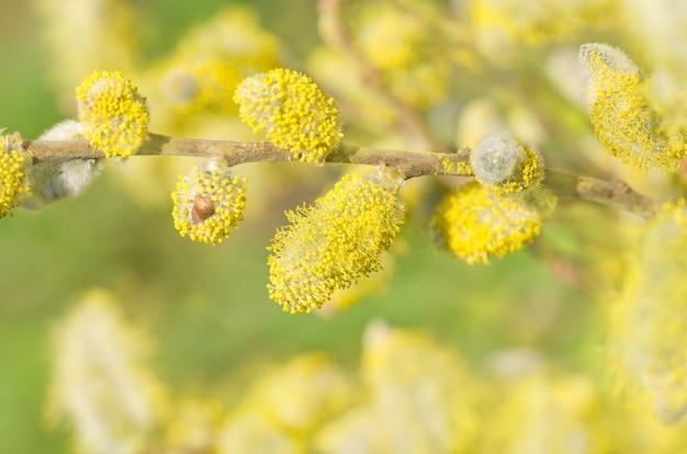 Ramos de floração de primavera de salgueiro