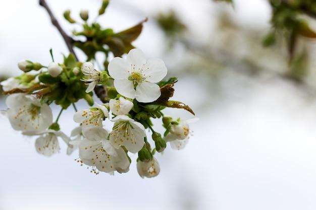 Ramos de flores de cerejeira contra o céu.