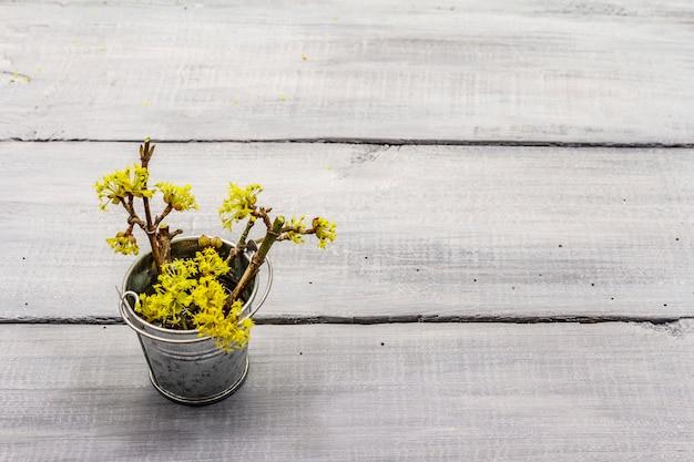 Ramos de flores frescas de corniso no balde de lata. conceito de humor de primavera, modelo de cartão, papel de parede, pano de fundo. fundo de tábuas de madeira