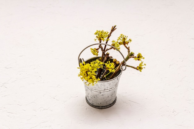 Ramos de flores frescas de corniso no balde de lata. conceito de humor de primavera, modelo de cartão, papel de parede, pano de fundo. massa branca fundo texturizado