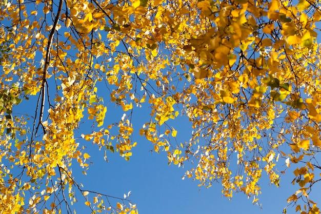 Ramos de folhagem amarela de bétula contra um céu azul, tempo ensolarado no outono