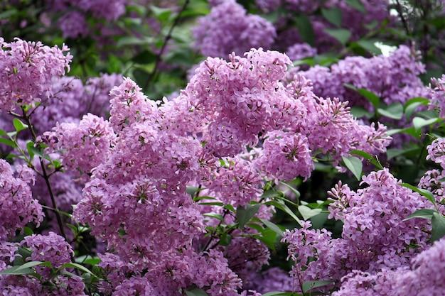 Ramos de linda flor lilás