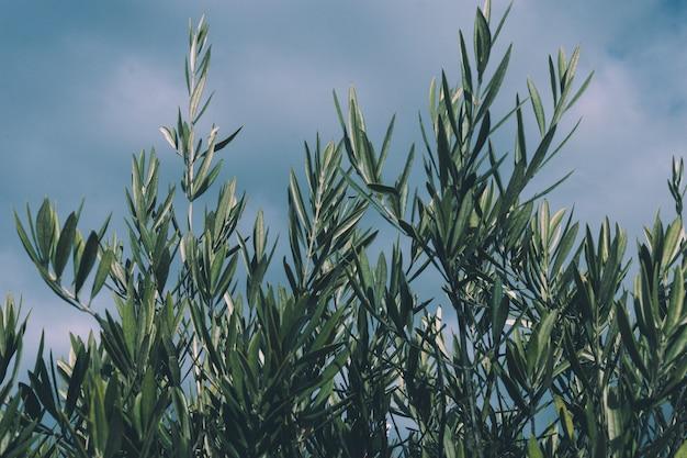 Ramos de oliveira em um céu azul nublado