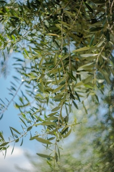 Ramos de oliveira no céu azul