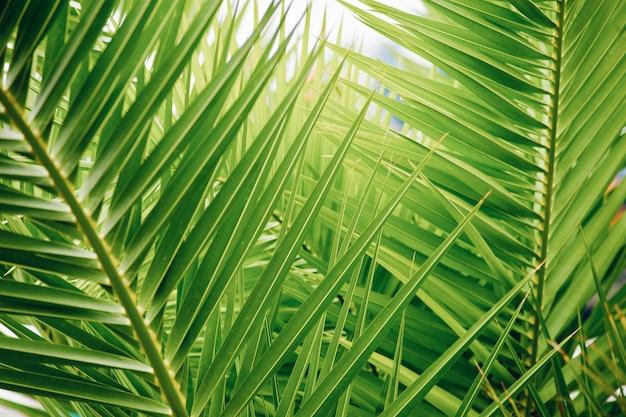 Ramos de palmeira verde