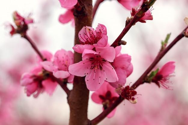 Ramos de pessegueiro em flor