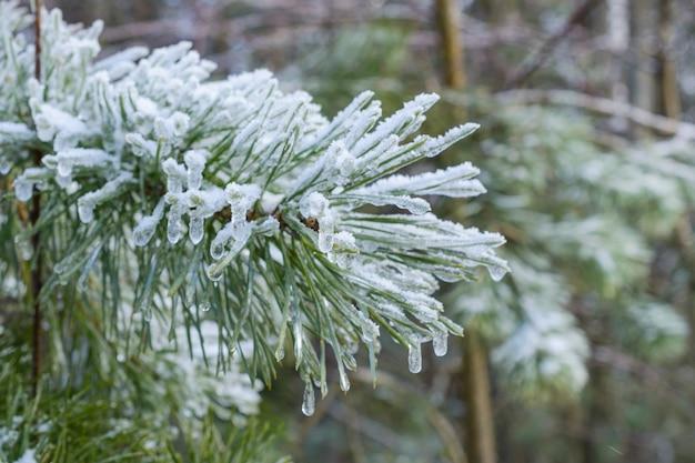 Ramos de pinheiro, agulhas de pinheiro cobertas de gelo. inverno, abstrato de ano novo. floresta de inverno.