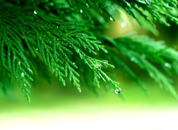 Ramos de pinheiro com orvalho