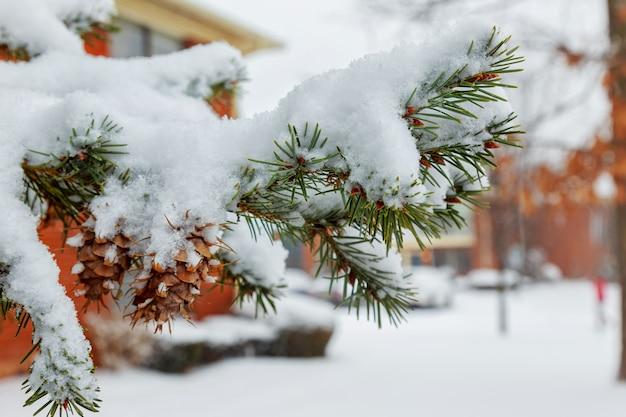 Ramos de pinheiro de inverno