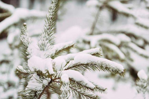 Ramos de pinheiro nevado na floresta de inverno. a neve cobre as árvores. texturas e fundos de inverno
