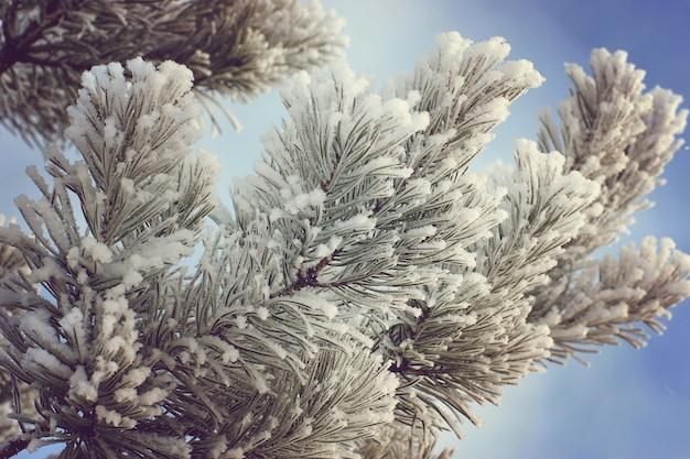 Ramos de pinheiros cobertos de geada contra o céu.