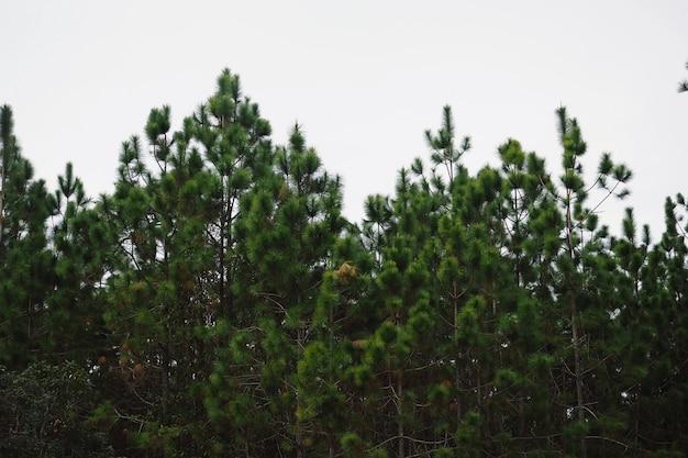 Ramos de pinheiros