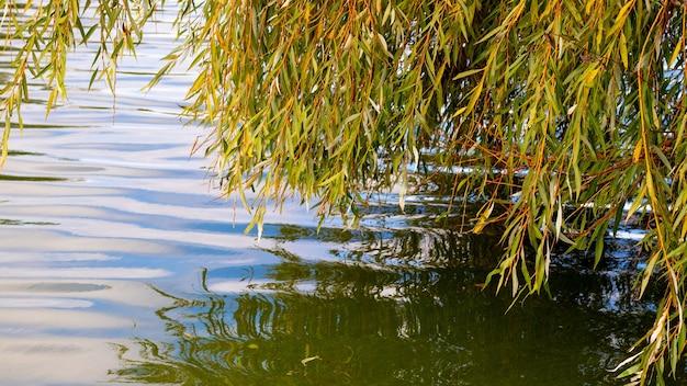 Ramos de salgueiro com folhas de outono ao longo do rio. reflexo na água das folhas de salgueiro