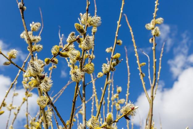 Ramos de salgueiro em dia ensolarado de primavera