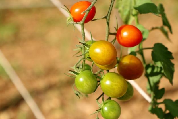 Ramos de tomate cereja