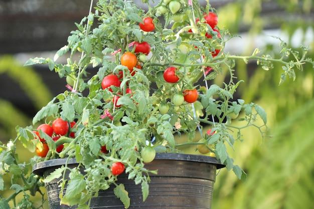 Ramos de tomates cereja