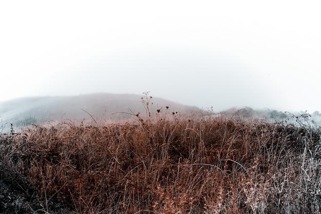 Ramos de trigo secos no campo em um dia de neblina