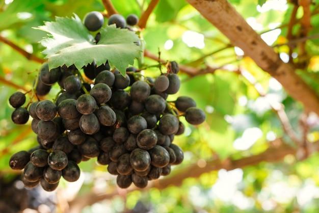 Ramos de uvas tintas que crescem em campos italianos. feche a vista da uva de vinho tinto fresco na itália. vista de vinhedo com grande uva vermelha crescendo. uva madura em campos de vinhos. videira natural