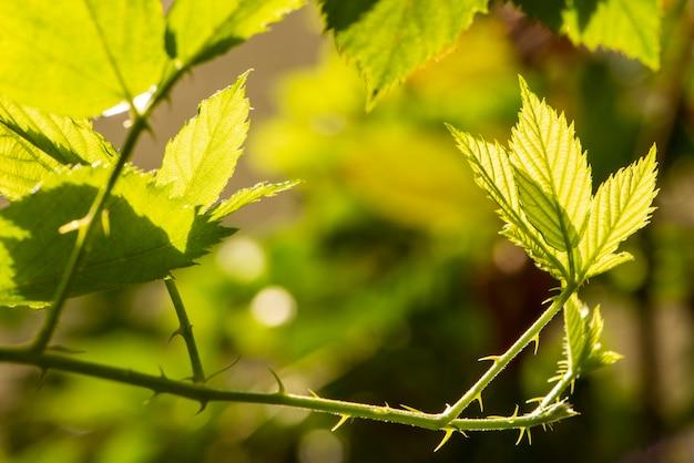 Ramos e folhas de uma framboesa