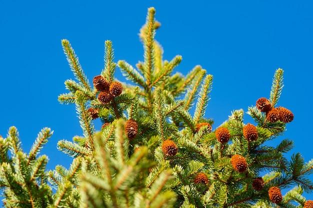 Ramos espinhosos verdes da árvore da pele ou pinho com cones no fundo do céu azul. foco seletivo.